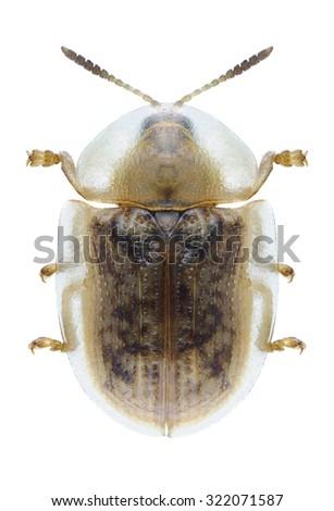 Beetle Cassida flaveola on a white background - stock photo