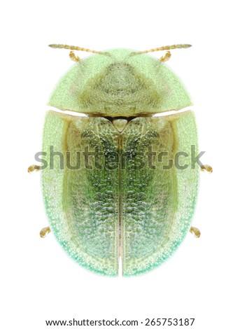 Beetle Cassida palaestina on a white background - stock photo