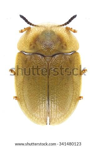 Beetle Cassida pusilla on a white background - stock photo