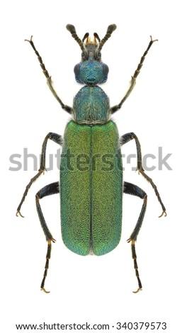 Beetle Cerocoma schreberi on a white background - stock photo