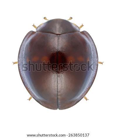 Beetle Chilocorus bipustulatus on a white background - stock photo