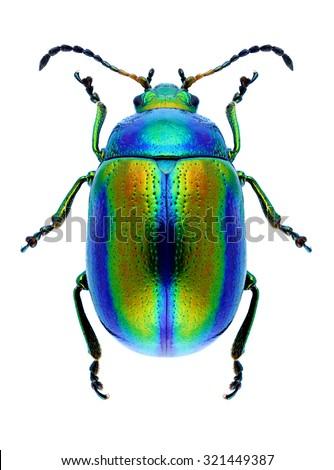 Beetle Chrysolina fastuosa on a white background - stock photo