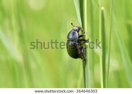 beetle climbing on hay grass in summer. Closeup shot of a bug on blurred green background - stock photo