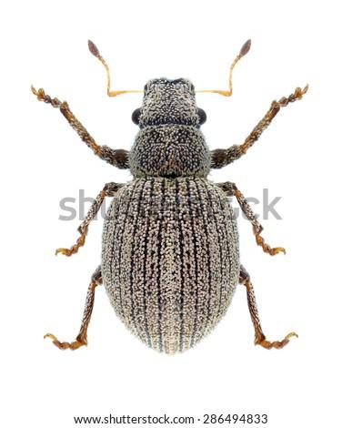 Beetle Foucartia squamulata on a white background - stock photo