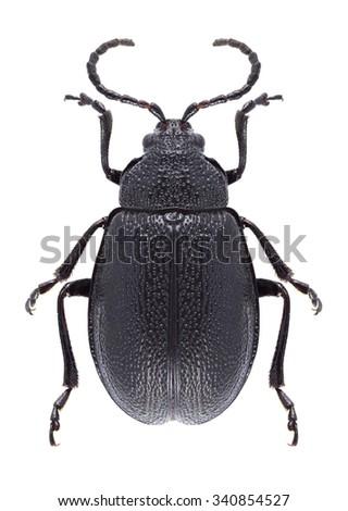 Beetle Galeruca tanaceti on a white background - stock photo