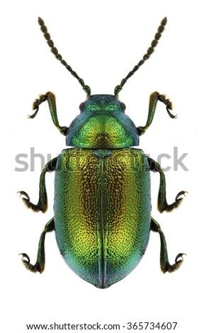 Beetle Gastrophysa viridula on a white background - stock photo