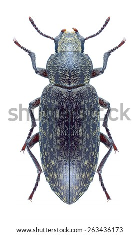 Beetle Himatismus villosus on a white background - stock photo