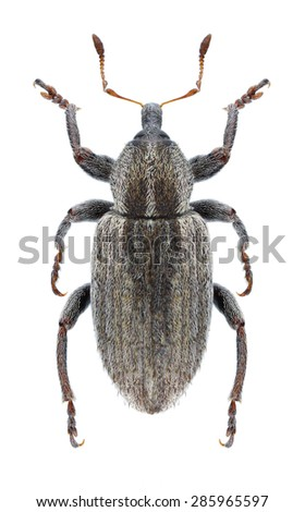 Beetle Hypera postica on a white background - stock photo