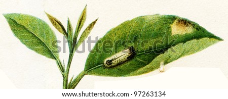 """beetle imitating corrupt object  - an illustration t article """"Mimicry"""" of the encyclopedia publishers Education, St. Petersburg, Russian Empire, 1896 - stock photo"""