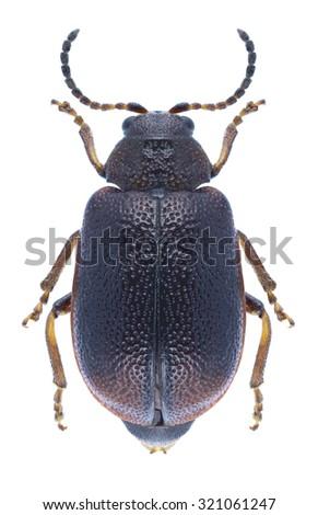 Beetle Lochmaea crataegi on a white background - stock photo