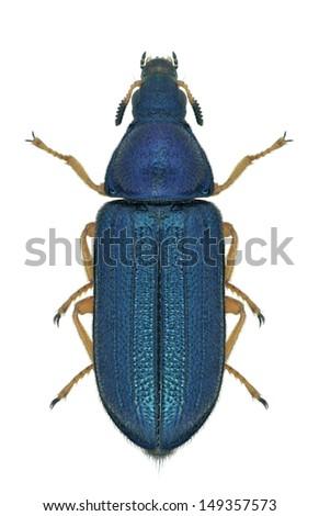Beetle Melyris versicolor on a white background - stock photo