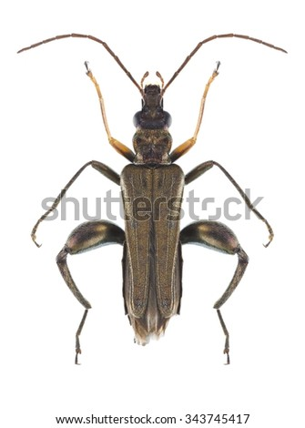 Beetle Oedemera flavipes (male) on a white background - stock photo
