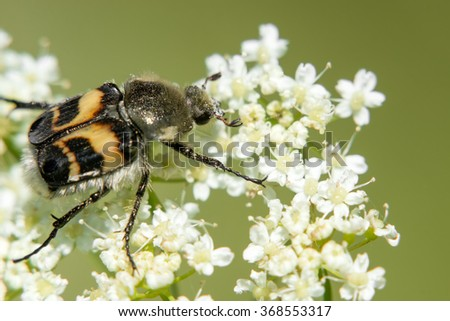 Beetle on white flower collecting nectar - stock photo