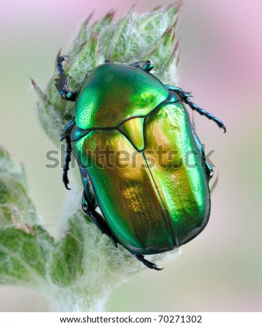 Beetle Protaetia affinis on the plant - stock photo