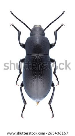 Beetle Raiboscelis eleodinus (female) on a white background - stock photo