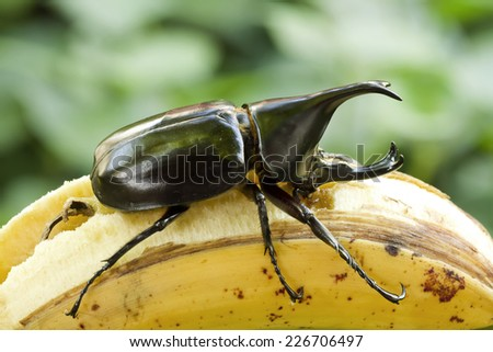 Beetle,Rhinoceros beetle, Rhino beetle, Hercules beetle, Unicorn beetle, Horn beetle (Dynastinae) - stock photo