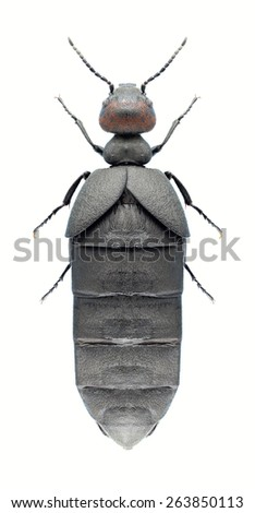 Beetle Trichomeloe chrysocomus on a white background - stock photo