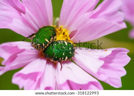 Beetles on a pink cosmos flower - stock photo