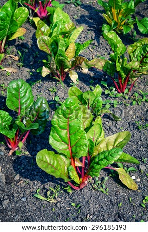 Beetroot plants in vegetable garden -fruits and vegetables - stock photo