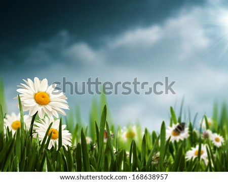 Before the rain. Natural backgrounds with beauty daisy flowers - stock photo