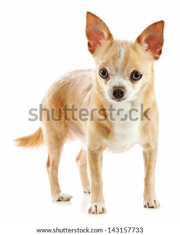 Beige chihuahua dog isolated on white background. Closeup. - stock photo