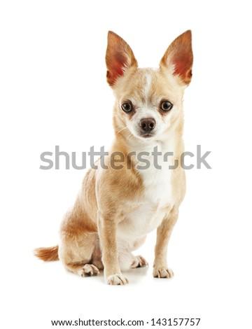 Beige chihuahua dog isolated on white background. Closeup. - stock photo