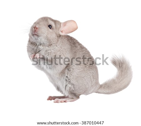 Beige chinchilla isolated on white background. series of images. - stock photo