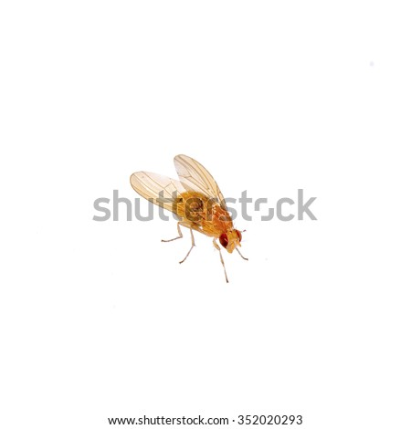 Beige fly isolated on a white background - stock photo