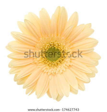 Beige gerbera. Deep focus. No dust. No pollen. - stock photo