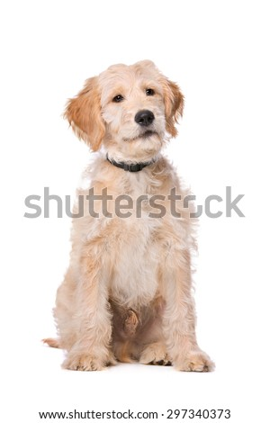 Beige Labradoodle dog in front of a white background - stock photo