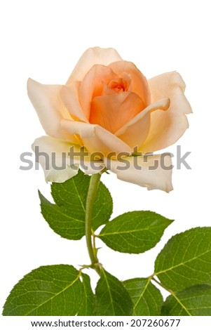 Beige rose isolated on a white background - stock photo