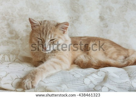 beige young cat napping on lace veil - stock photo