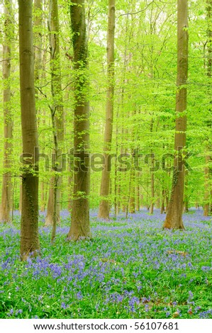 Belgian Forest with lots of bluebells - stock photo