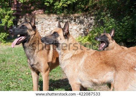 Belgian shepherd. Lovely and cute dog with funny face. Interesting dog breed. Dog photography outdoor. Dog for dogs sport - agility, obedience, frisbee. Animal shot capturing dog.Dog with collar. - stock photo