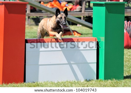 belgian shepherd malinois during agility training - stock photo