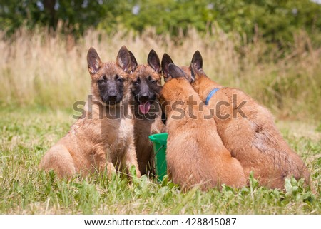 Belgian Shepherd Malinois. Lovely and cute dog with funny face. Interesting dog breed. Dog photography outdoor. Dog for dogs sport - agility, obedience, frisbee, hunting. Animal shot capturing dog. - stock photo