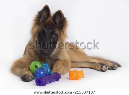 Belgian Shepherd Tervuren puppy with colored toys, white studio background - stock photo