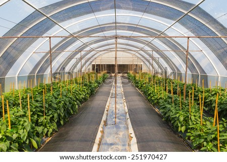 bell peppers farm in green house - stock photo