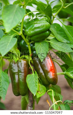 Bell peppers ripening on the vine - stock photo