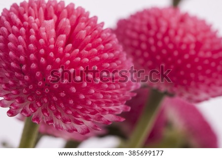 Bellis perennis is a common European species of daisy, of the Asteraceae family - stock photo