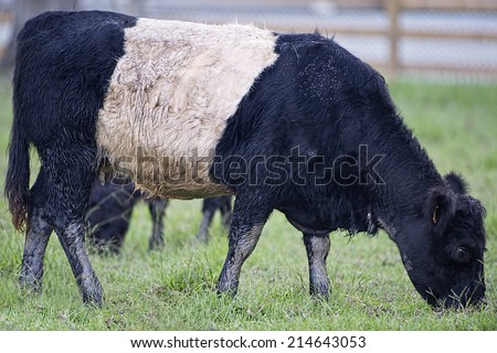 Belted Galloway Cow - stock photo