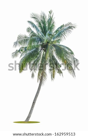 bending coconut tree isolated on white background - stock photo