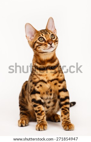 Bengal Cat - stock photo