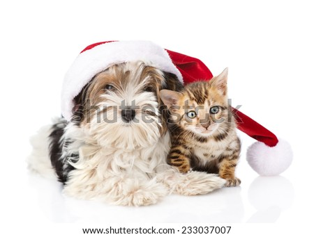 Bengal cat and Biewer-Yorkshire terrier puppy with red santa hat. isolated on white background - stock photo