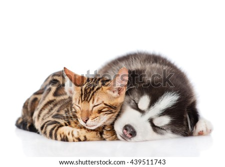 Bengal cat and Siberian Husky puppy sleeping together. isolated on white background - stock photo