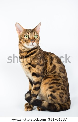 Bengal cat isolated - stock photo