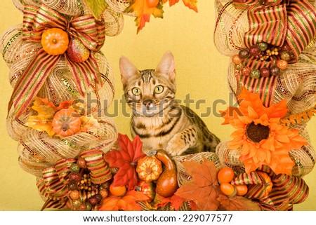 Bengal cat kitten inside Fall Autumn wreath on light yellow background  - stock photo