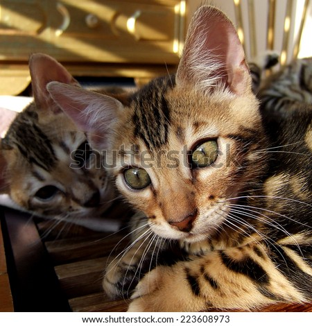 Bengal cat kitten relaxing with sibling in background taken at home - stock photo