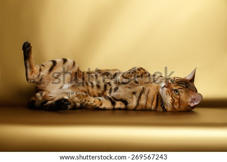 Bengal Cat lies on Gold background and playing - stock photo