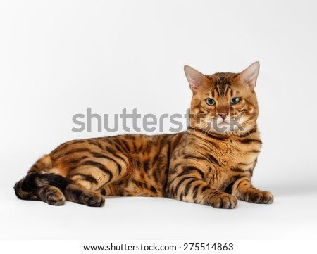 Bengal Cat lies on White background and Looking in camera - stock photo